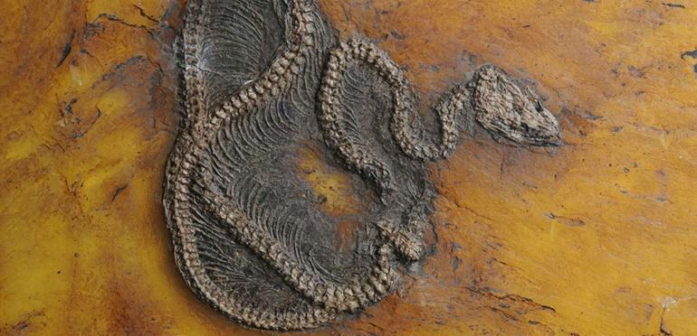 Encuentran el fósil de la pitón más antiguadel mundo: tiene 47 millones de años