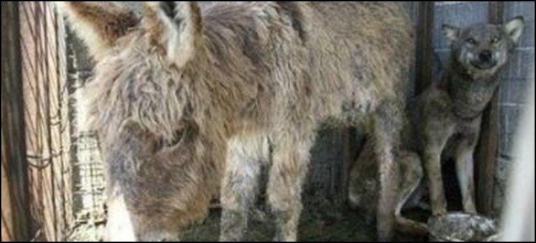 Los dueños de un burro quisieron sacrificarlo enfrentándolo con un lobo hambriento pero no se esperaban este resultado