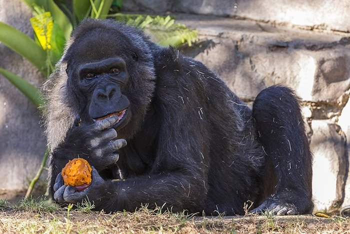 The matriarch of the western lowland gorilla troop at the San Diego Zoo Safari Park snacks on an ice cupcake this morning, during a celebration to mark her 58th birthday. The Safari Park's Nutrition Services department made an elaborate ice cake, but Vila (pronounced VEE-la) was more interested in the tiny treats of frozen fruit frosted with pureed banana and sweet potatoes.  Vila is one of the world's oldest-known gorillas, believed to have been born in October of 1957 in the Congo. She is the matriarch of five generations, and she has served as a surrogate mother for several hand-raised western lowland gorillas during her lifetime. Despite her advancing age, she is in excellent health and continues to thrive at the Safari Park.  A crowd of guests and volunteers watched while Vila and the other seven gorillas at the Safari Park foraged for treats throughout their entire habitat, which included cardboard tubes made to look like ears of corn filled with broccoli, special plant cuttings, gift boxes and messages written in peanut butter on a mirror hung in a tree. Keepers also wrote birthday messages and drew festive pictures in chalk, on the rock walls of the habitat.